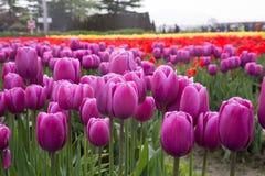 File variopinte dei tulipani in un vasto campo dei tulipani della molla Immagine Stock