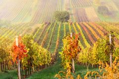 File variopinte delle vigne in autunno Albero solo verde in nebbia fra le vigne Paesaggio scenico di autunno della Moravia del su Immagini Stock