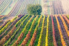 File variopinte delle vigne in autunno Albero solo verde in nebbia fra le vigne Paesaggio scenico di autunno della Moravia del su Fotografia Stock