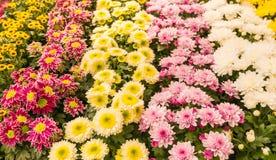 Primo piano dei crisantemi conservati in vaso di fioritura variopinti Fotografia Stock