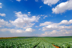 Filed. Vegetable filed under blue cloudy sky Royalty Free Stock Photography