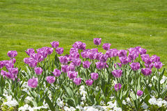 Filed of Colorful tulips Royalty Free Stock Images