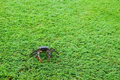 Filed crab green grass background close up and copy space Royalty Free Stock Photo