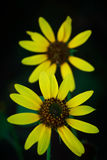Filed daisy glory royalty free stock images