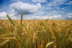 Filed of grain Stock Photos