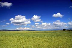 Filed of grain. In summer Stock Image