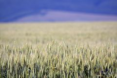 Filed of grain. In summer Stock Photography