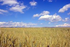 Filed of grain. In summer Stock Images