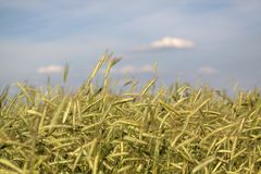 Filed of grain. In summer Royalty Free Stock Images