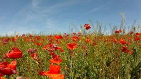 Filed with many poppy flowers in blossoms. Very hot day, plants have wilt leaves stock video footage
