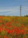 Filed with many poppy flowers in blossoms. Very hot day, plants have wilt leaves Royalty Free Stock Image