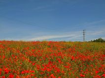 Filed with many poppy flowers in blossoms. Very hot day, plants have wilt leaves Royalty Free Stock Photography