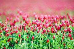 Filed of pink flowers in bloom. Field or meadow of pink Gomphrena globosa flowers in bloom royalty free stock photo