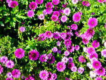 A filed of purple daisies blooming Stock Images