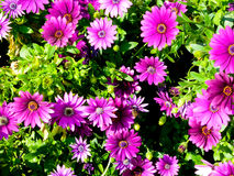 A filed of purple daisies blooming Stock Photo