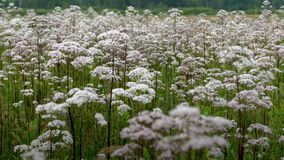 Filed of Queen Anns Lace awash in white royalty free stock photo