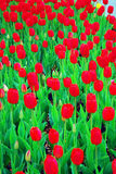 Filed of red tulips Stock Image