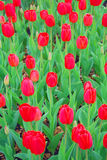 Filed of red tulips Stock Photography
