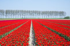 Field of red tulips in holland Royalty Free Stock Photo