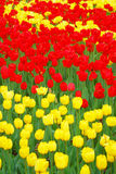 Filed of red and yellow tulips Royalty Free Stock Photography