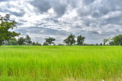 Filed rice stock images