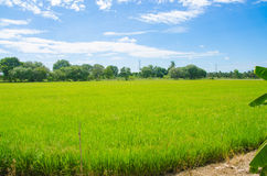 Filed rice in south east asia stock image