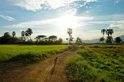 Filed rijst en countryFiled rijst en de hond bij de landweg Stock Afbeeldingen