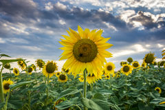 A field of sun flowers in the summer Royalty Free Stock Photo