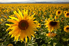 Filed of sunflowers. With one sunflower close-up Stock Images