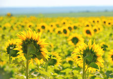 Filed of sunflowers Stock Photo