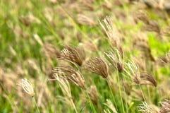 Filed of swollen finger grass Stock Photos