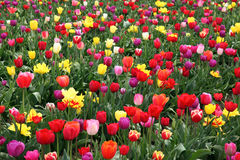 Filed of tulip flowers Stock Image