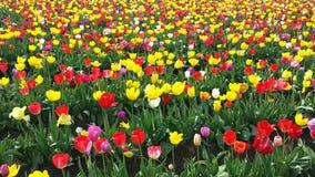 Filed van tulpen Royalty-vrije Stock Afbeelding