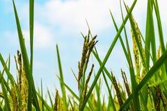 Fileds риса на солнечный день Стоковые Изображения