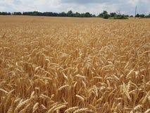 Fileds de blé de la saison d'été dans le secteur et en parcs et dans les pelouses Photo stock