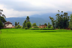 Fileds de riz et Images libres de droits