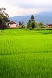 Fileds del arroz y Fotos de archivo libres de regalías
