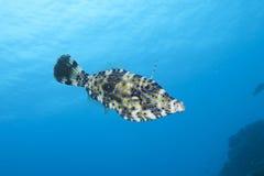 Filefish, Бонайре Стоковое Изображение RF