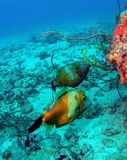 Filefish Stock Image