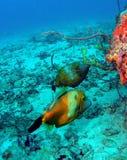 filefish Obraz Stock