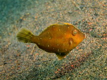 Filefish Zdjęcie Stock