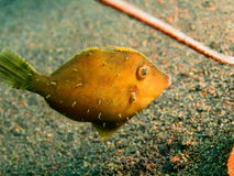Filefish Fotografia Stock