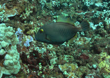 Filefish Royalty Free Stock Photos