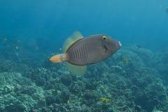 Filefish barrado Imagem de Stock Royalty Free