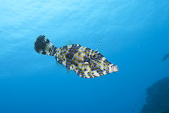 Filefish, Bonaire. Underwater swimming Filefish in open water, Bonaire royalty free stock image