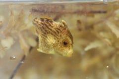 Filefish de Planehead Fotos de archivo