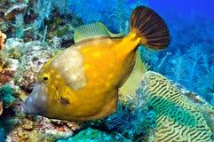 Filefish de Whitespotted Imagens de Stock