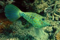 Filefish garrapateado Imagen de archivo libre de regalías