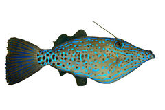 Filefish garrapateado Fotos de archivo libres de regalías
