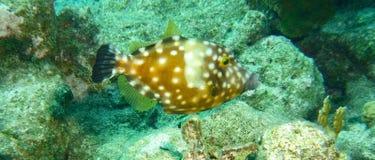 Filefish manchado branco imagens de stock royalty free
